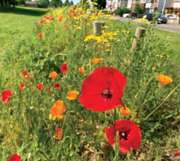 Dartnall's-Field-wilflower-verge-June-2020-3