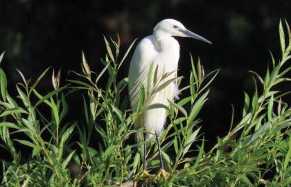 Little-Egret-by-Mark-Holden